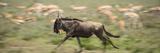 A Wildebeest on the Run in Serengeti National Park, Tanzania Papier Photo par Michael Melford