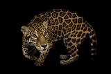 A Federally Endangered  Ten-Year-Old  Female Jaguar at the Dallas World Aquarium