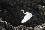 A White Western Reef Heron Taking Off from a Sandstone Escarpment Covered with Oysters