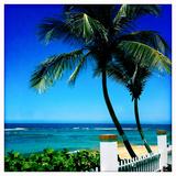 Palm Trees and a Fence at Shacks Beach Near Aquadilla  Puerto Rico