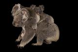 Federally Threatened Koala Joeys Cuddle with their Mother