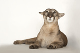 A Florida Panther  Puma Concolor Coryi  at Tampa's Lowry Park Zoo