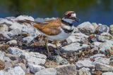 A Nesting Killdeer  Charadrius Vociferus  Guarding its Eggs