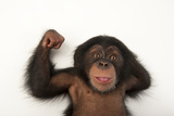 A Three-Month-Old Baby Chimpanzee  Pan Troglodytes  at Tampa's Lowry Park Zoo