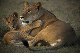A Lioness and Her Cub  Lying Next to Each Other and Playing