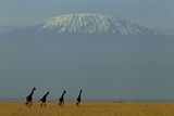 Four Masai Giraffes on a Grass Plain at the Base of Mount Kilimanjaro