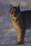 Twilight Portrait of a Canadian Lynx  Lynx Canadensis  in Snow