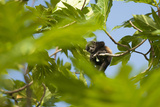 A Baby Mantled-Howler Monkey Rests in a Tree Branch