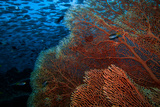 A Red Fan Coral in Blue Water with a School of Fish Above