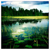 Lily Pads and Grasses in a Fresh Water Marsh Off Sebago Lake