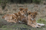 Three Lion Cubs  Panthera Leo  Resting Together