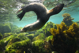 A Galapagos Sea Lion Frolics Just Beneath the Ocean Surface
