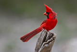 A Male Cardinal Perched on a Stump