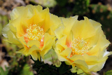 Two Yellow Prickly Pear Cactus Flowers  Opuntia Species