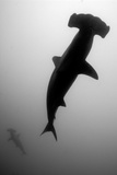 A Silhouetted Scalloped Hammerhead Shark  Sphyrna Lewini  Swimming