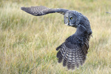 A Great Gray Owl Begins to Turn While in Flight