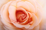 Close Up of a Peach or Flesh-Colored Rose