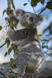 A Federally Threatened Koala Rests in a Tree