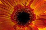 Close Up of an Orange Gerbera Daisy  Gerbera Species