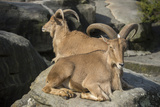 Barbary Sheep  Ammotragus Lervia  at the Taronga Zoo