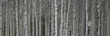 A Dense Aspen Forest