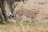 Cheetah (Acinonyx Jubatus)  Masai Mara  Kenya  East Africa  Africa