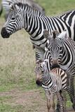 Plains Zebra (Equus Quagga)  Masai Mara  Kenya  East Africa  Africa