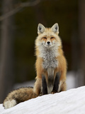 Red Fox (Vulpes Vulpes) (Vulpes Fulva) in the Snow