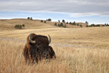 Bison (Bison Bison) Bull  Custer State Park  South Dakota  United States of America  North America
