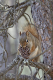American Red Squirrel (Red Squirrel) (Spruce Squirrel) (Tamiasciurus Hudsonicus) with a Pine Cone