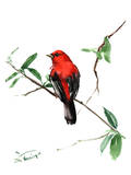 Summer Tanager 5