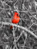 Northern Cardinal Bird on the Branch Papier Photo par SNEHITDESIGN