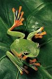 Rhacophorus Reinwardtii (Green Flying Frog)