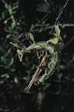 Extatosoma Tiaratum (Giant Prickly Stick Insect) - Mating