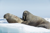 Walrus and Calf Resting on Ice in Hudson Bay  Nunavut  Canada