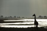 Giraffe along Chobe River  Chobe National Park  Botswana