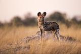 Wild Dog  Moremi Game Reserve  Botswana