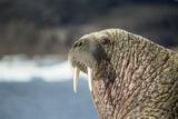 Walrus Resting on Ice in Hudson Bay, Nunavut, Canada Papier Photo par Paul Souders