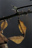 Extatosoma Tiaratum (Giant Prickly Stick Insect) - Leg