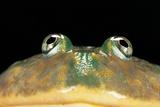Lepidobatrachus Laevis (Budgett's Frog, Escuerzo De Agua) Papier Photo par Paul Starosta