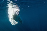 Underwater Polar Bear  Nunavut  Canada
