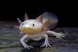Ambystoma Mexicanum F Leucistic (Axolotl)