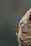 Mantis Religiosa (Praying Mantis) - Hatching