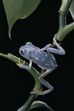 Pachymedusa Dacnicolor (Mexican Leaf Frog)