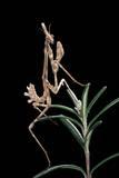 Empusa Pennata (Conehead Mantis) - Larva