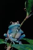 Leptopelis Uluguruensis (Uluguru Forest Treefrog)