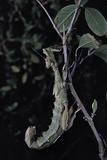 Extatosoma Tiaratum (Giant Prickly Stick Insect)