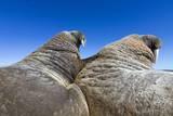Walruses on Iceberg, Hudson Bay, Nunavut, Canada Papier Photo par Paul Souders