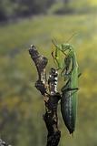 Mantis Religiosa (Praying Mantis) - Female Ready to Lay