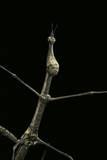 Proscopia Luceomaculata (Stick Grasshopper)